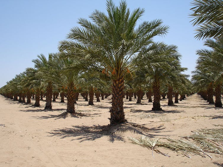 How Date Palm Seeds Can Remove Toxins