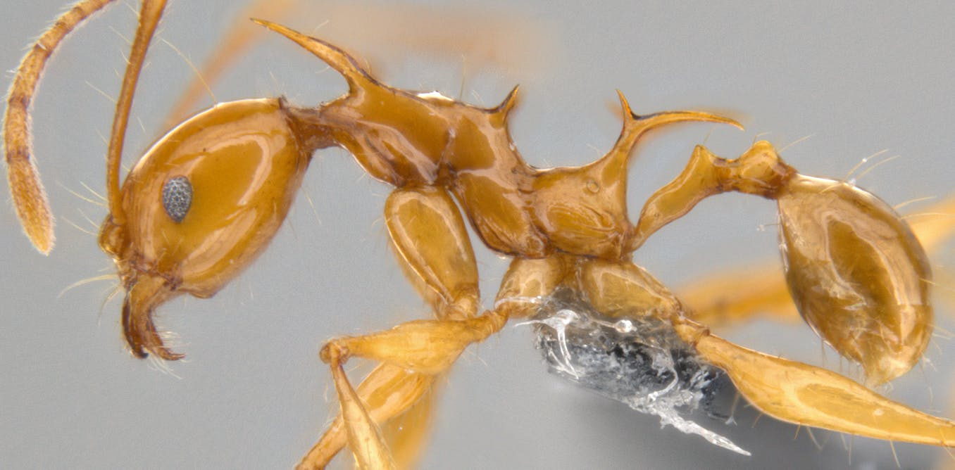 Meet Viserion And Drogon The New Ant Species Named After The Game