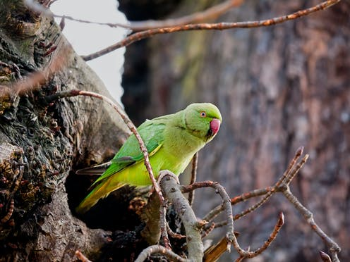 Parakeets are the new pigeons – and they're on course for global