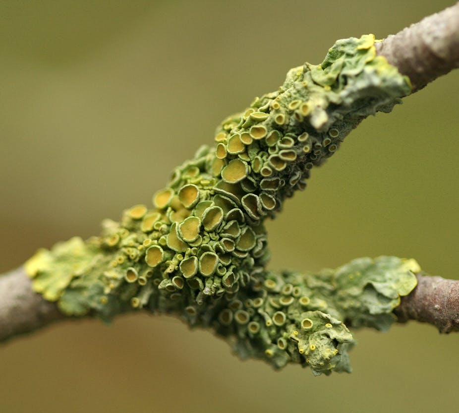 Lichens May Be A Symbiosis Of Three Organisms A New Order Of Fungus