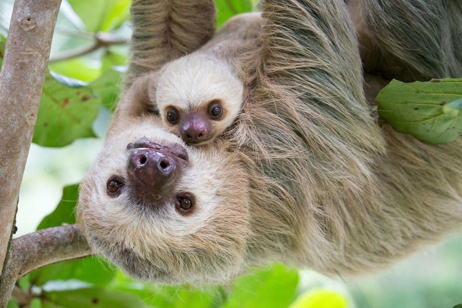 sloths aren t lazy their slowness is a survival skill