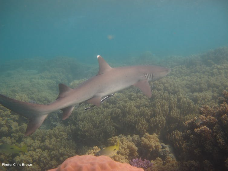 can buying up fishing licences save s sharks a white tip reef shark in the great barrier reef marine park christopher brown