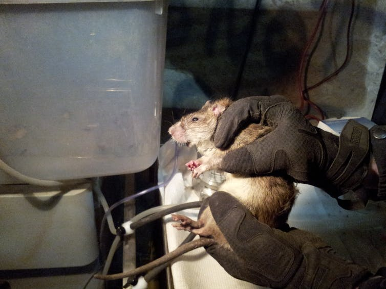 Scientist at work: Revealing the secret lives of urban rats