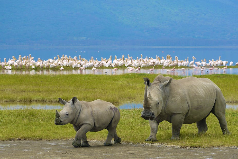 Rhino Horn And Conservation To Trade Or Not That Is The Question