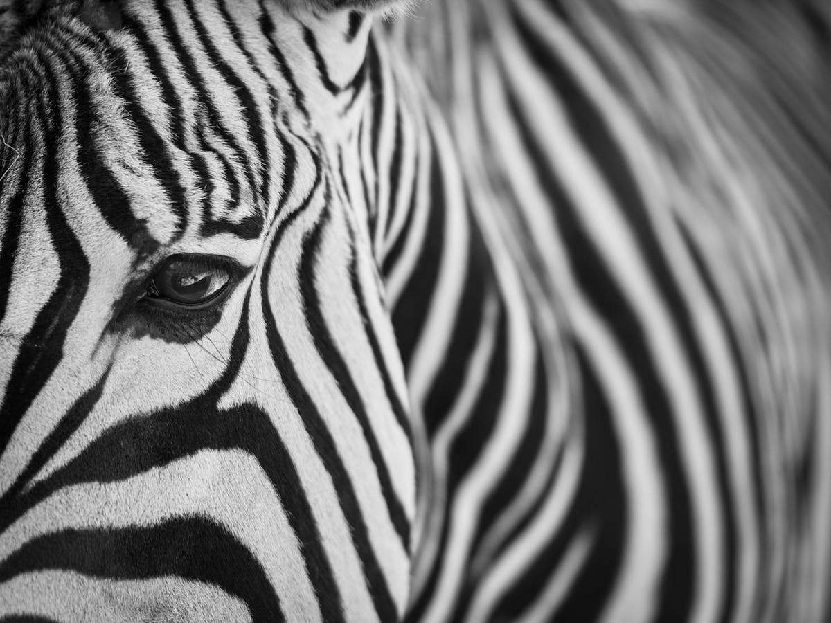 Why Zebra Refused To Be Saddled With Domesticity