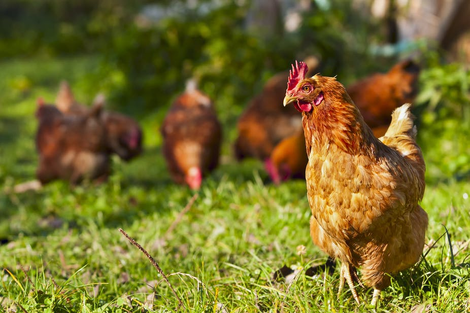 How the smell of chickens repels the most common malaria