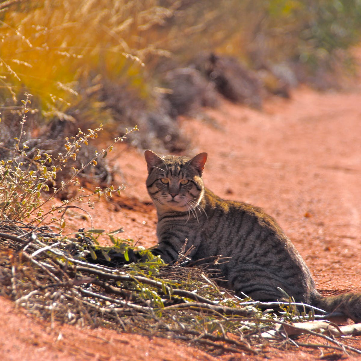 Invasive Predators Are Eating The World S Animals To Extinction And The Worst Is Close To Home