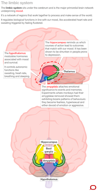 what does your amygdala do