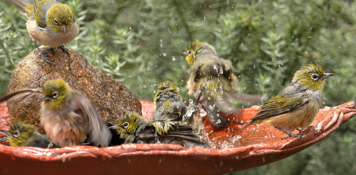 Bath bullies, bacteria and battlegrounds: the secret world of bird baths
