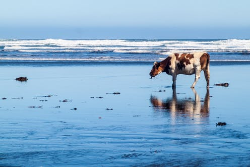 Seaweed could hold the key to cutting methane emissions from cow burps