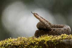 Why we should bother saving Britain's only venomous snake