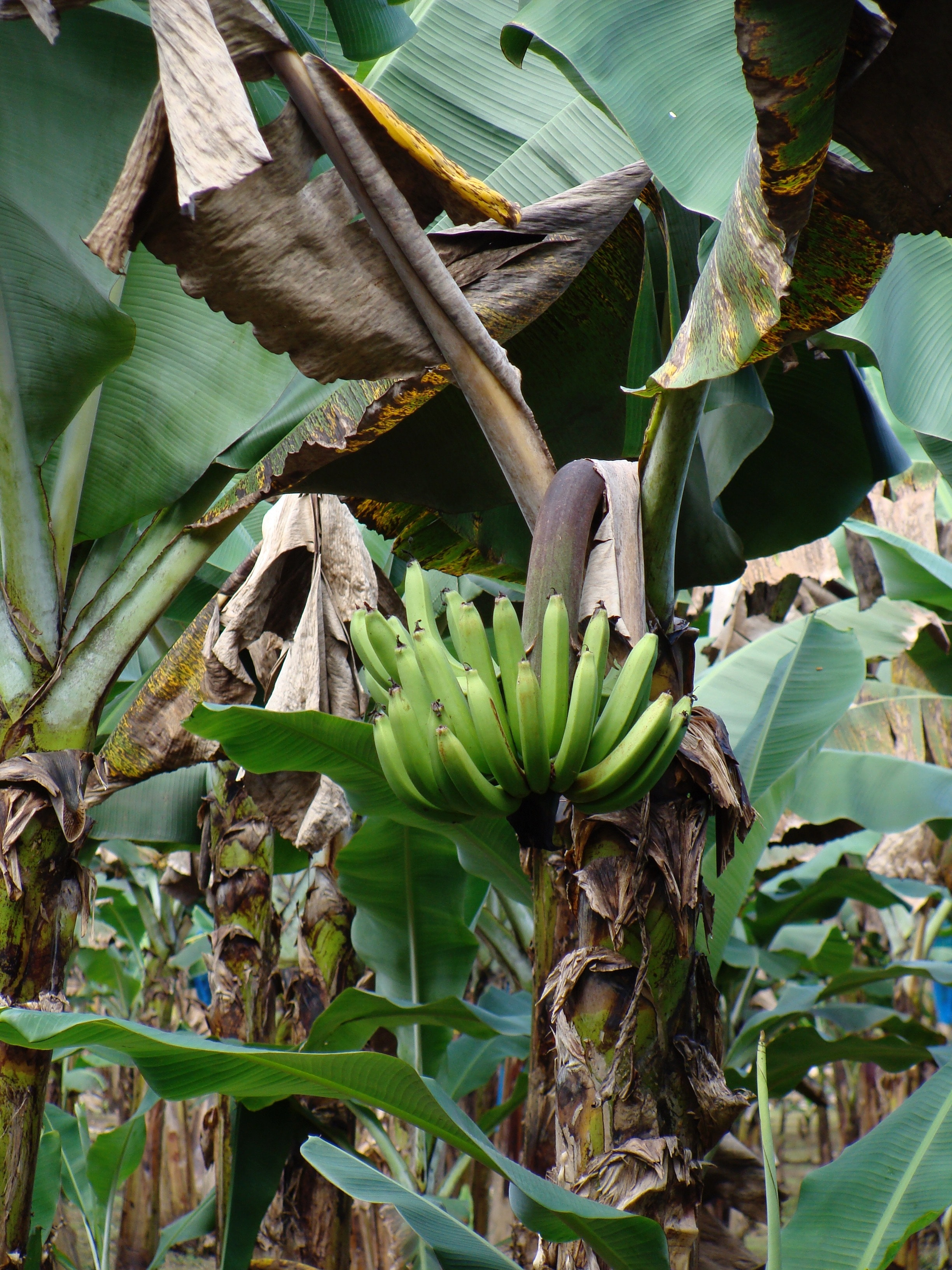 Benefits of producing banana plants asexually