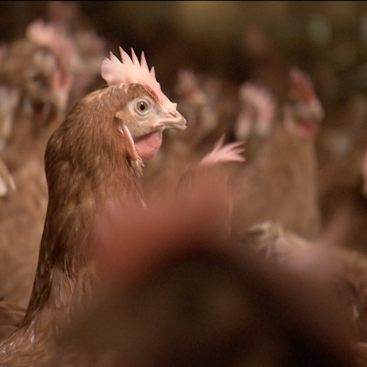 Cage-free sounds good, but does it mean a better life for