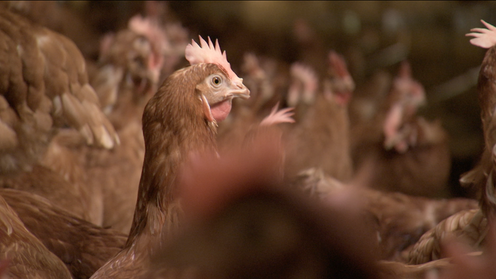 cage free sounds good but does it mean a better life for chickens
