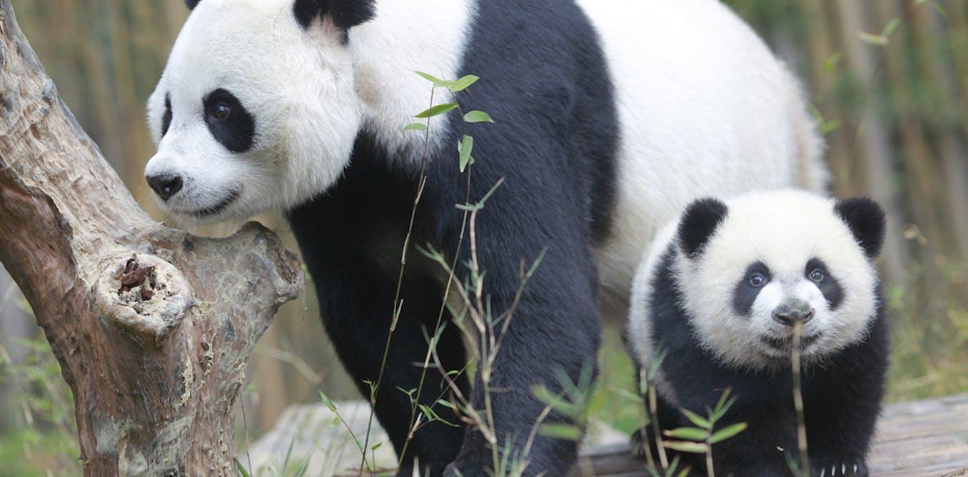 Panda Com