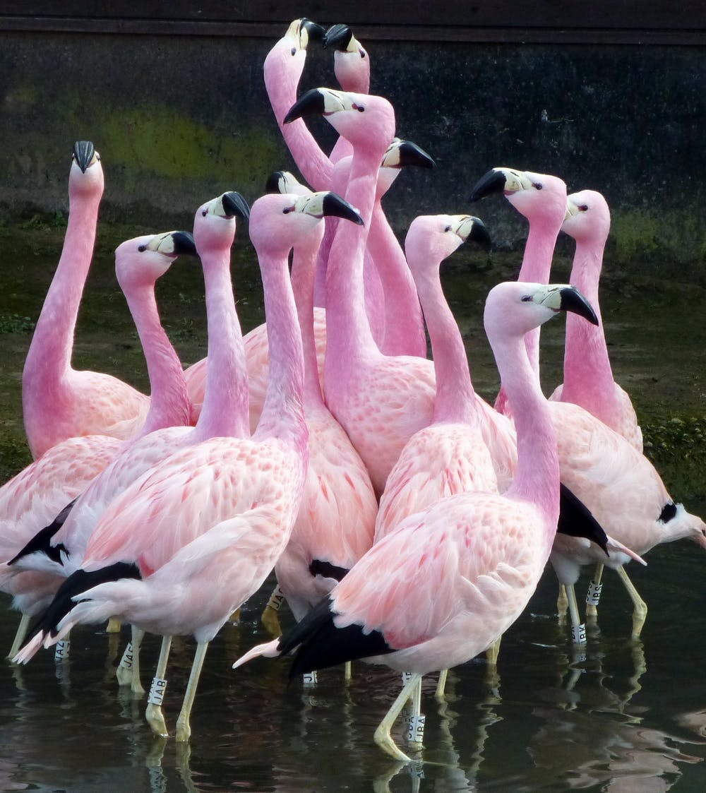 The Author Stus Social Lives Of These Andean Flamingos Paul Rose Provided