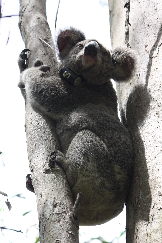 Do koalas spank pics 420