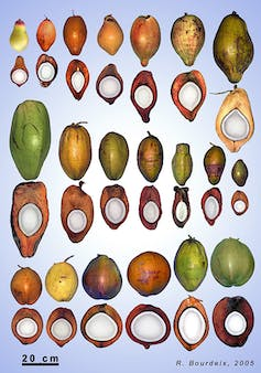 The end of coconut water? The world's trendiest nut is under threat of species collapse-3