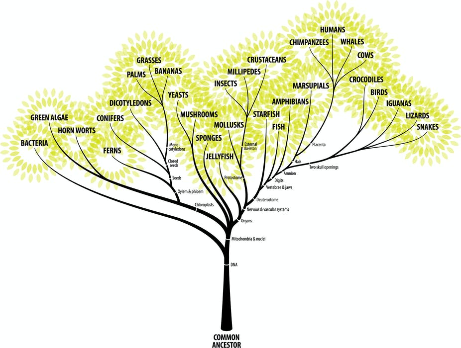 Image result for zern liew evolution tree