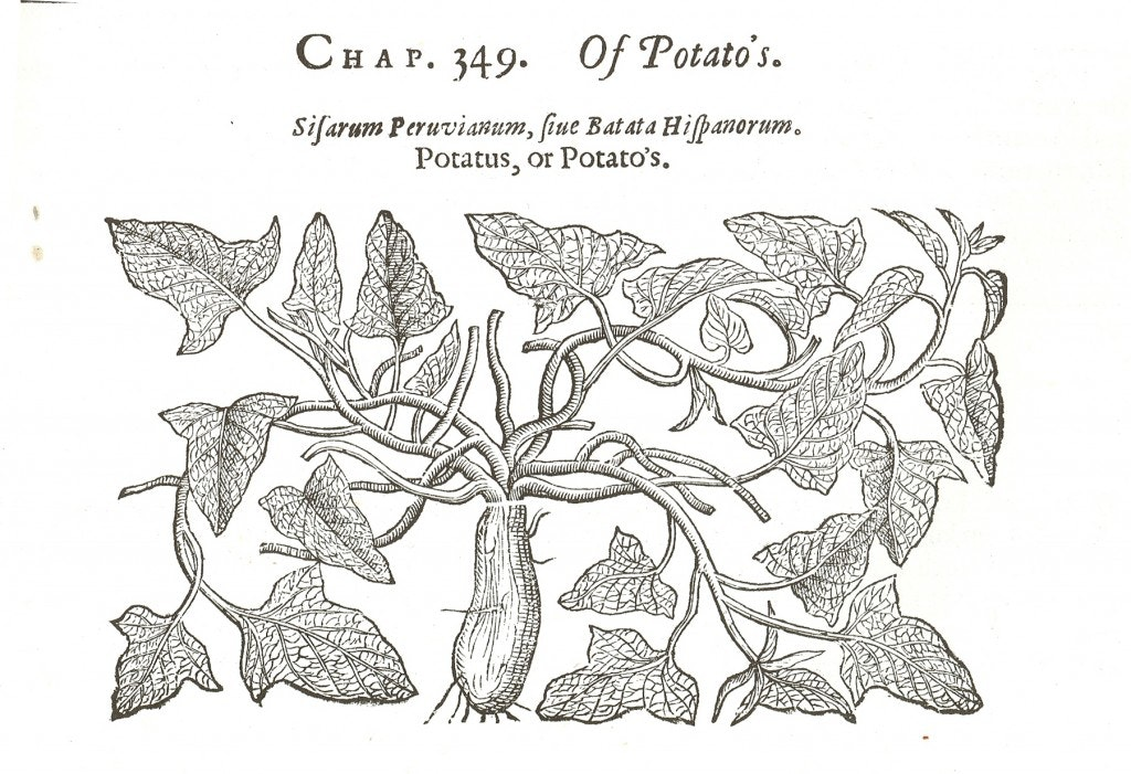 Sweet potatoes: 'they comfort, nourish, and strengthen the body'. John Gerard's 'Herball' (1596)