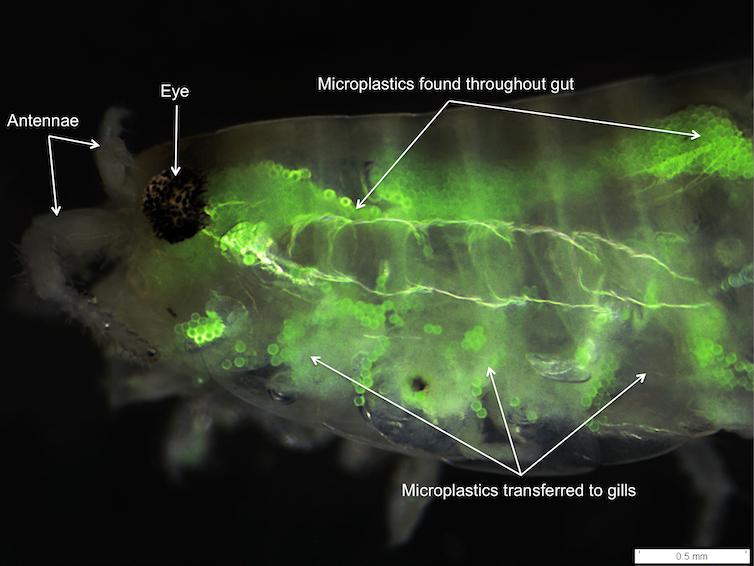 photo microplactic fish
