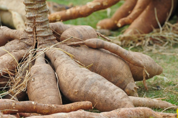 Research shows how to grow more cassava, one of the world's key food