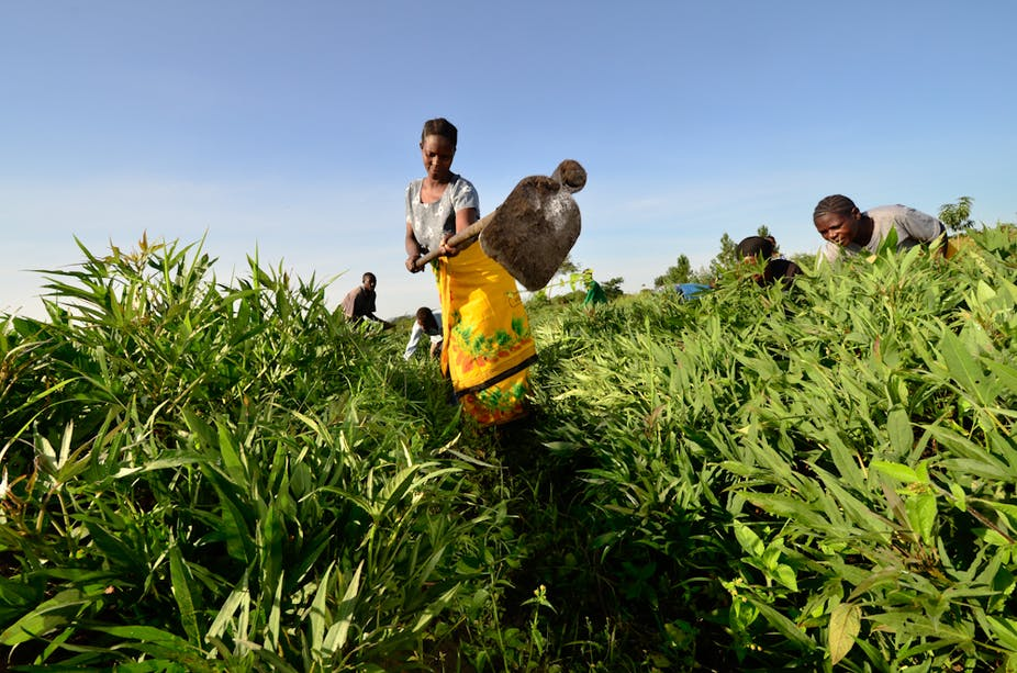 Research Shows How To Grow More Cassava One Of The World