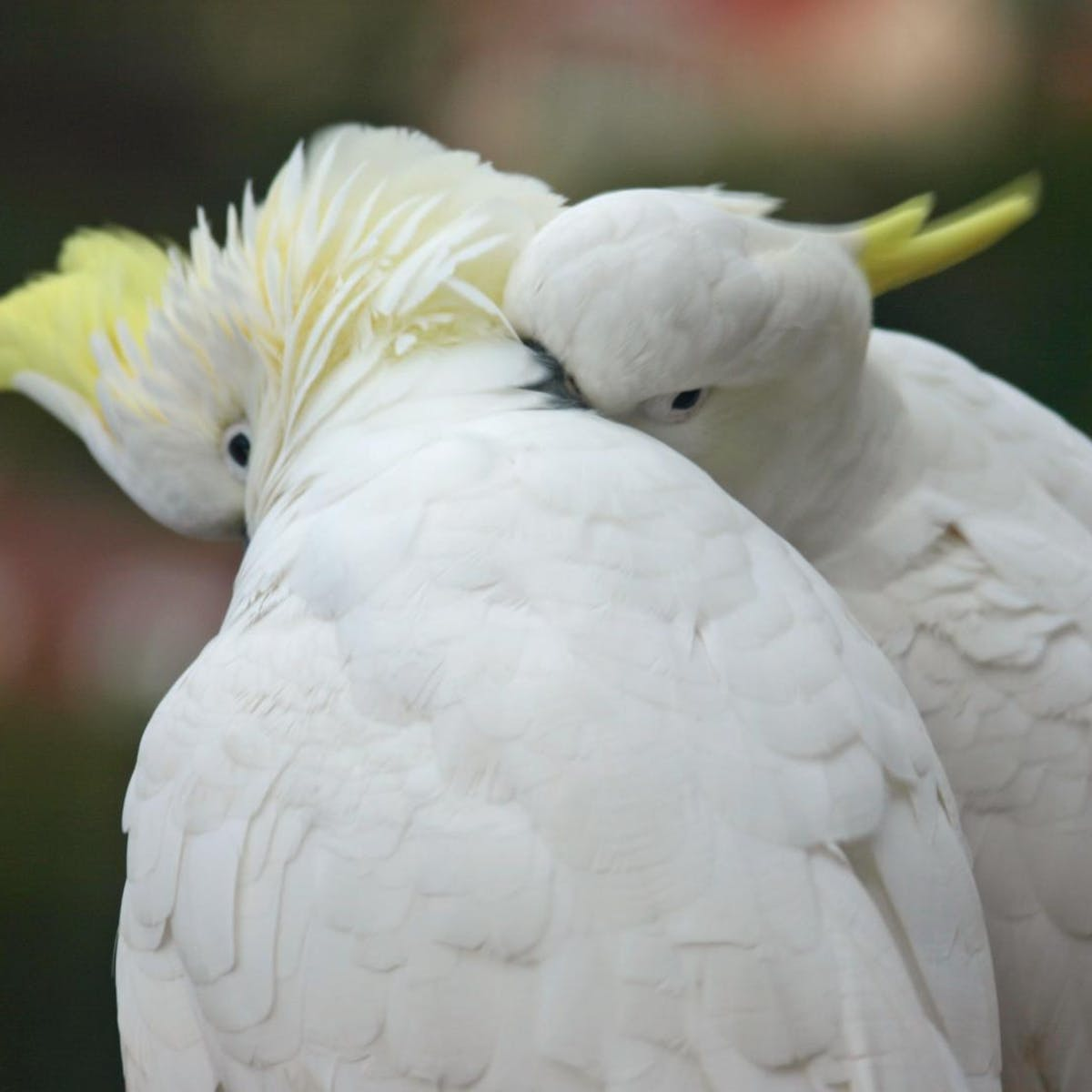 Laughs, cries and deception: birds' emotional lives are just as