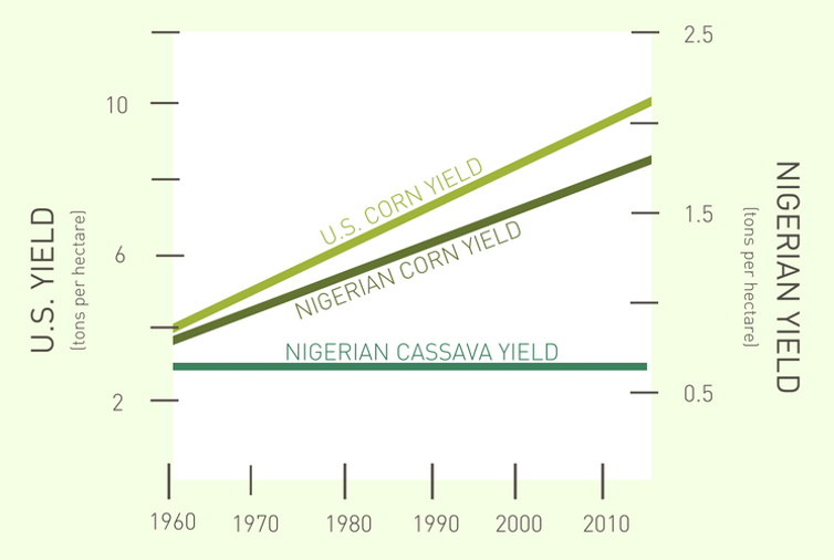 Research shows how to grow more cassava, one of the world's