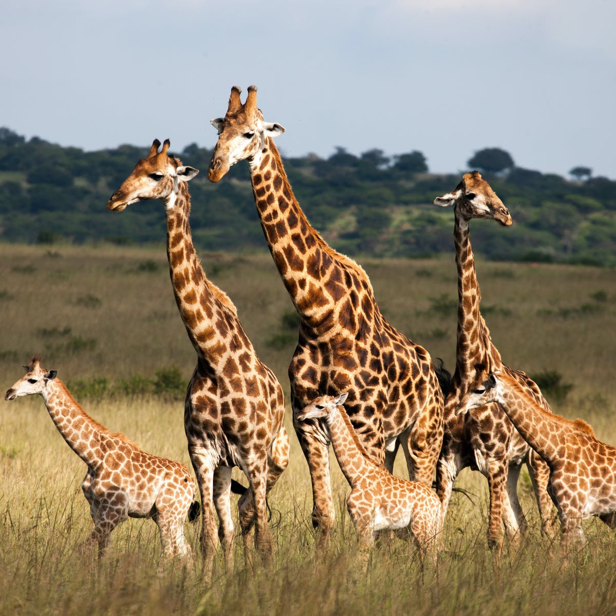 It S Time To Stand Tall For Imperilled Giraffes