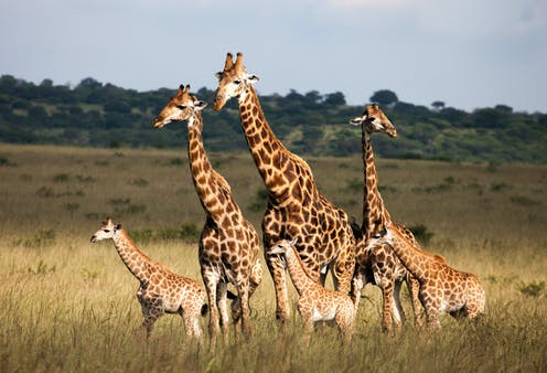 It's time to stand tall for imperilled giraffes