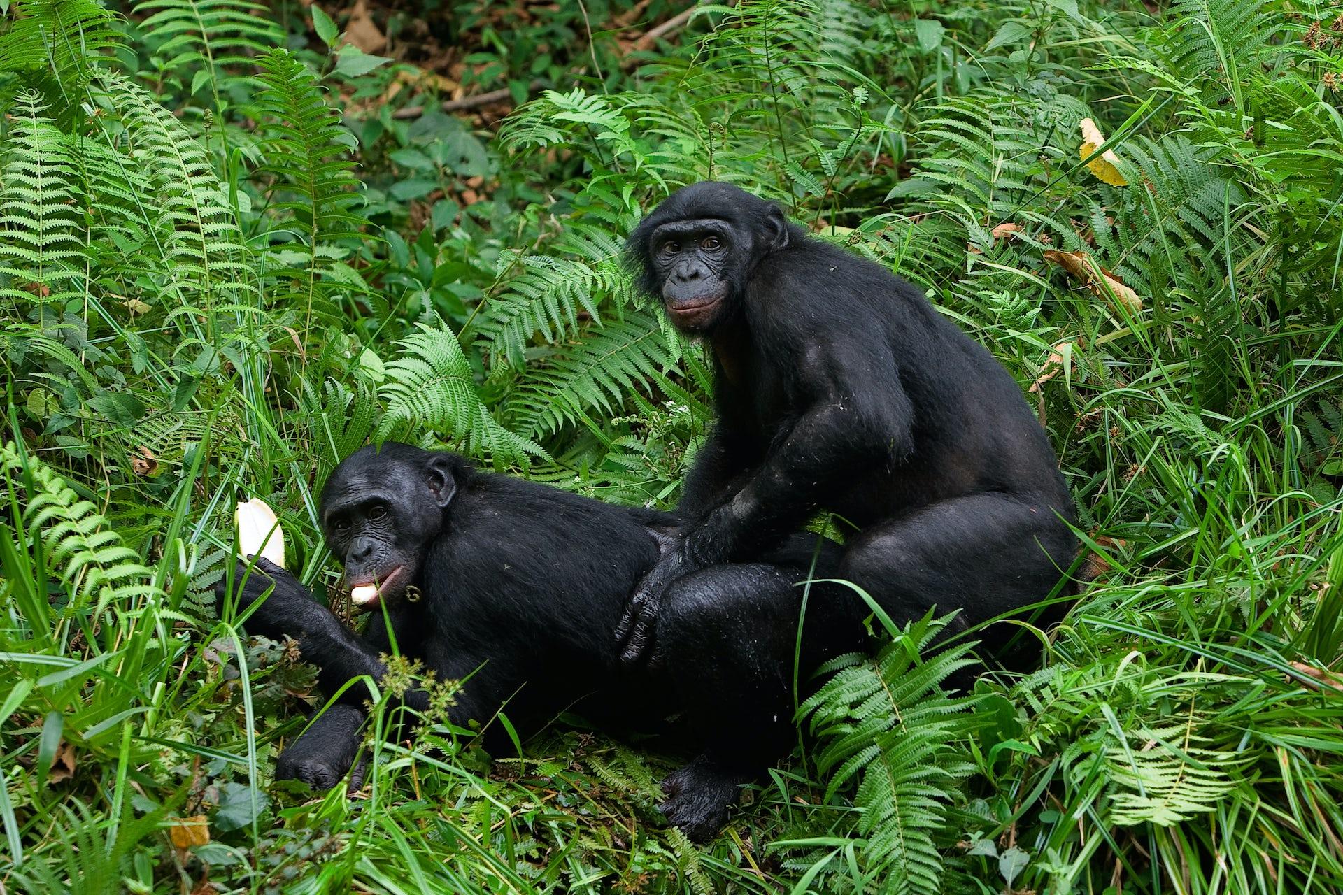 How big is a gorilla penis