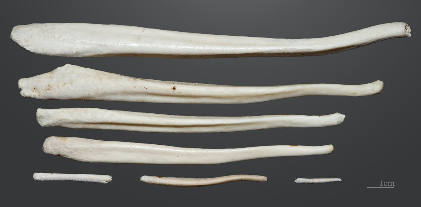 How penis bones help primates win the mating game – and ...