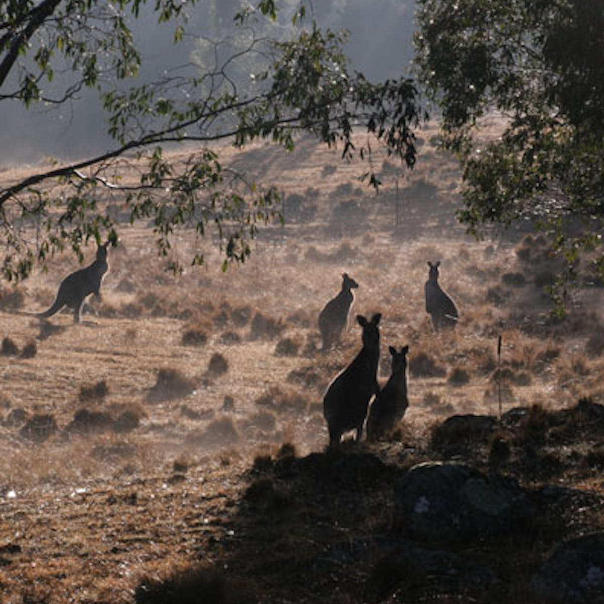 From pests to profits: making kangaroos valuable to farmers