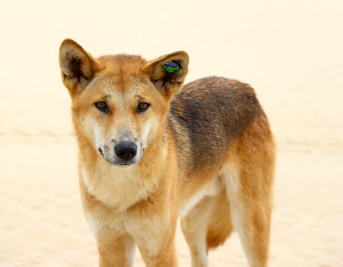 Dingoes do bark: why most dingo facts you think you know are