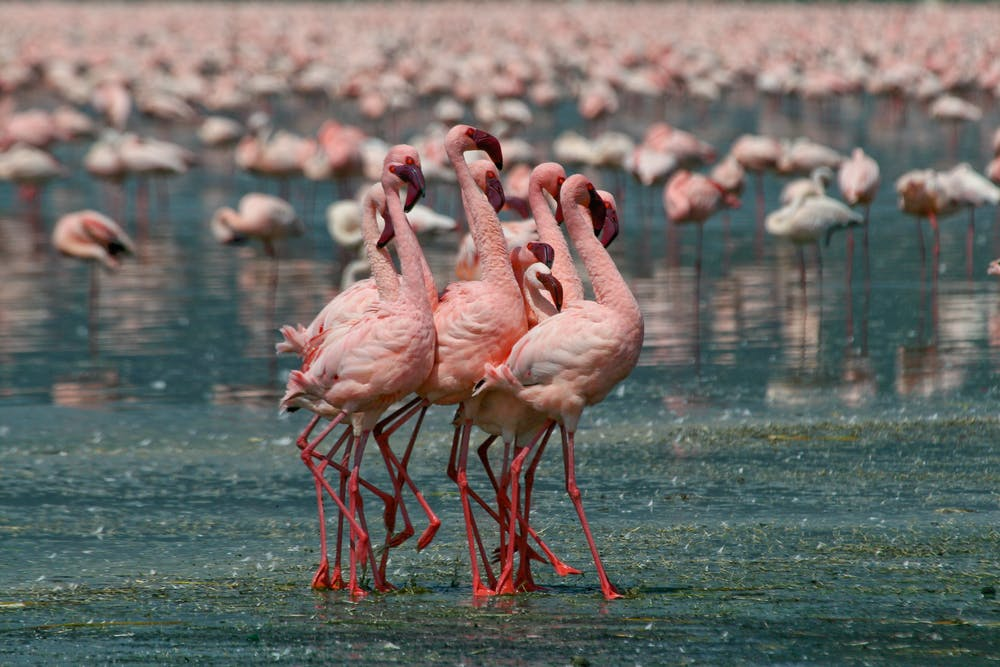 Africas Most Toxic Lakes Are A Paradise For Fearless Flamingos