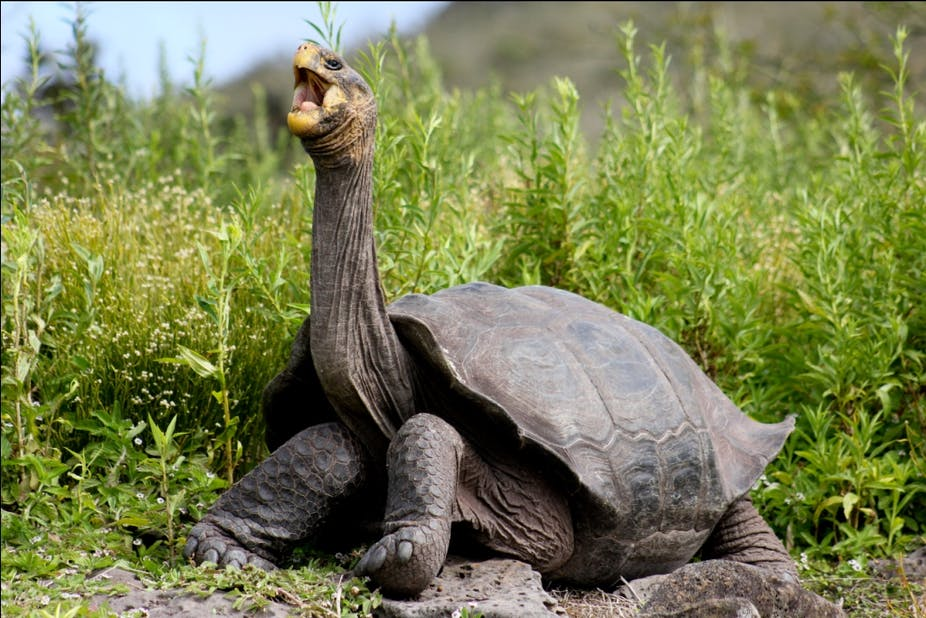Galapagos giant tortoises make a comeback, thanks to ... |Galapagos Tortoise