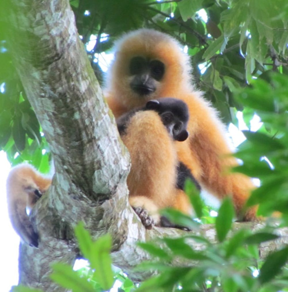 Only 25 Hainan gibbons remain – what next for the world's rarest ...