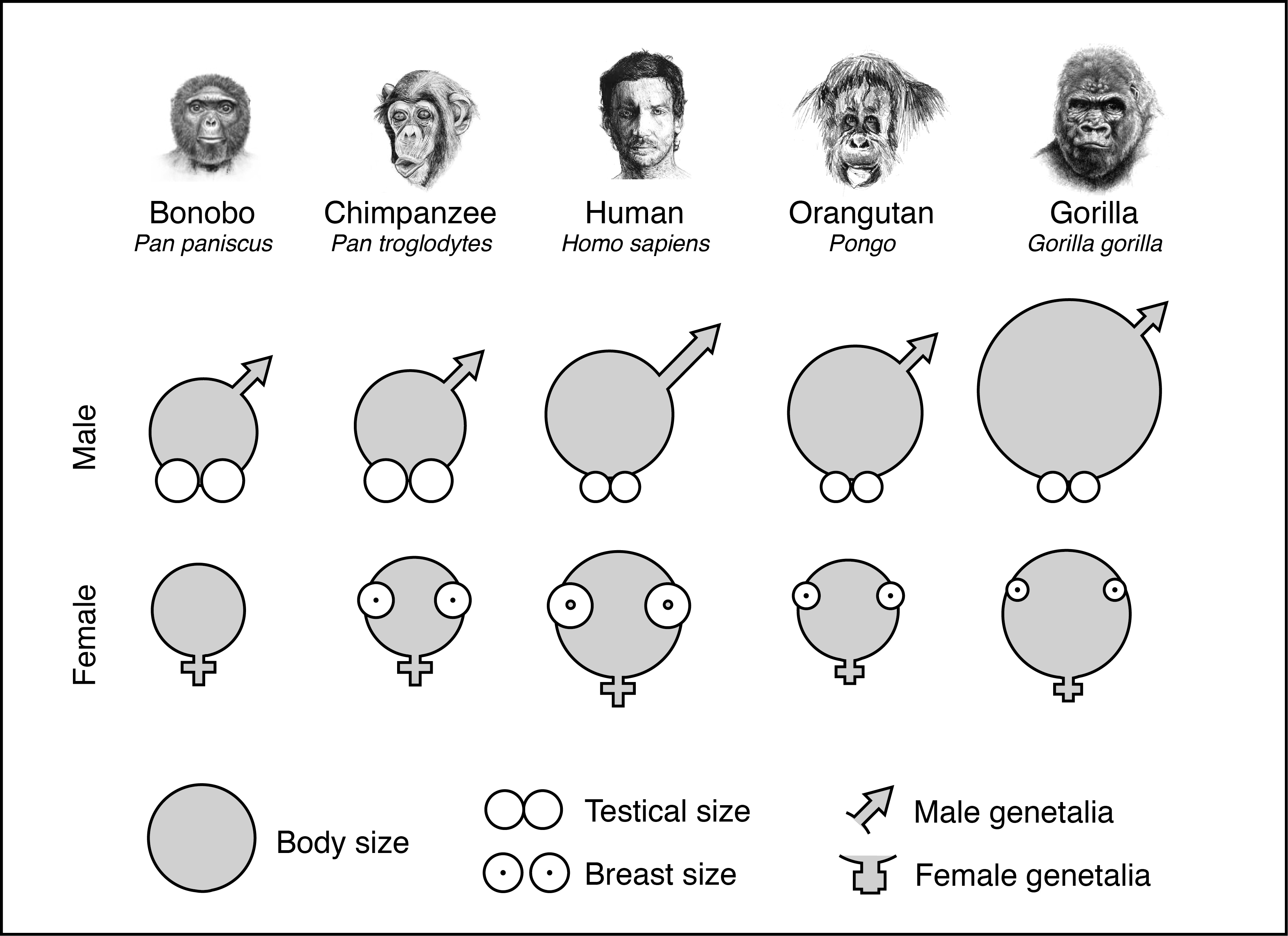 Great ape sexual organs, compared for size (bonobos are flat chested until  they get pregnant). Mark Maslin, The Cradle of Humanity, Author provided