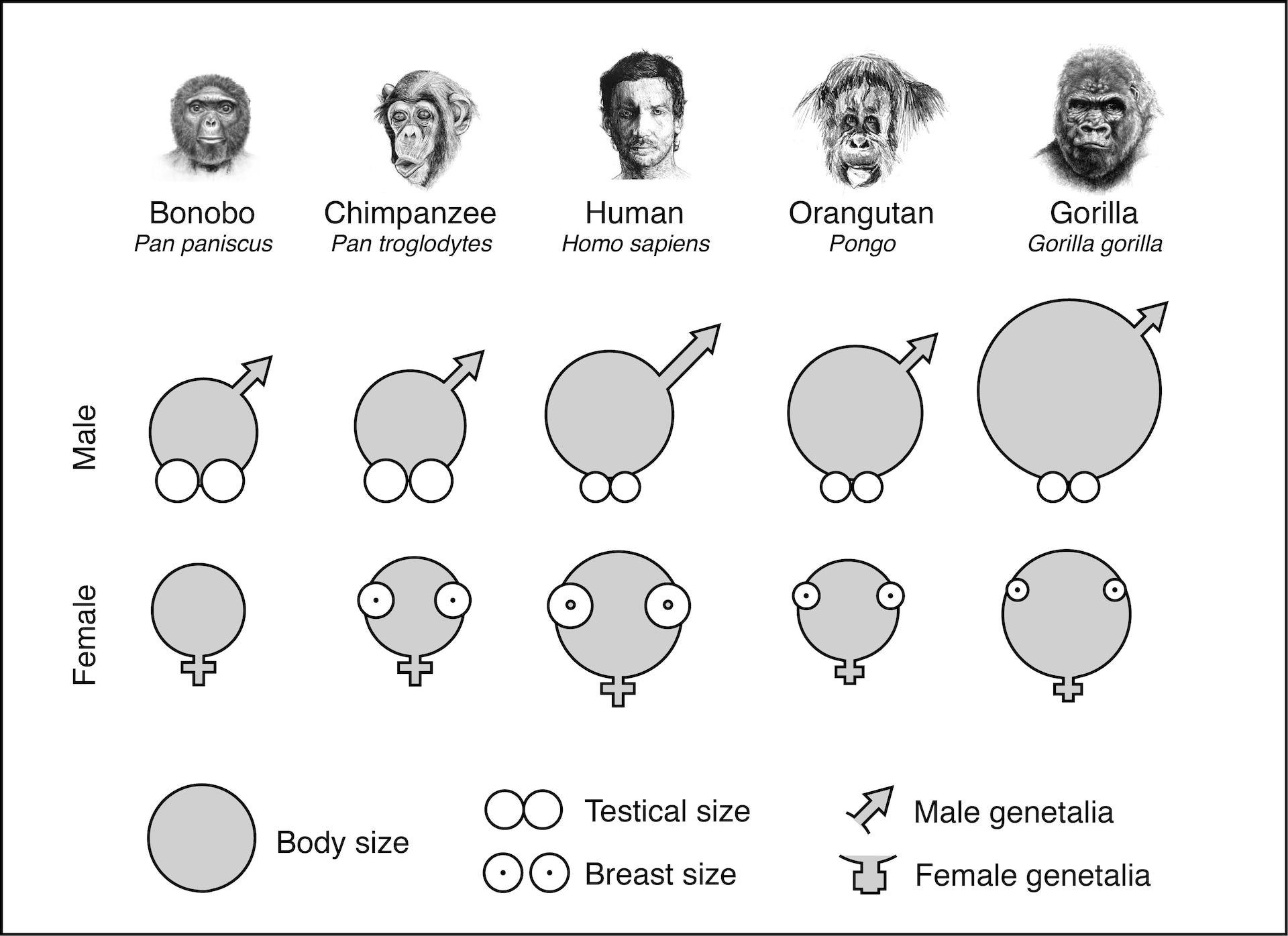 Human  Wikipedia