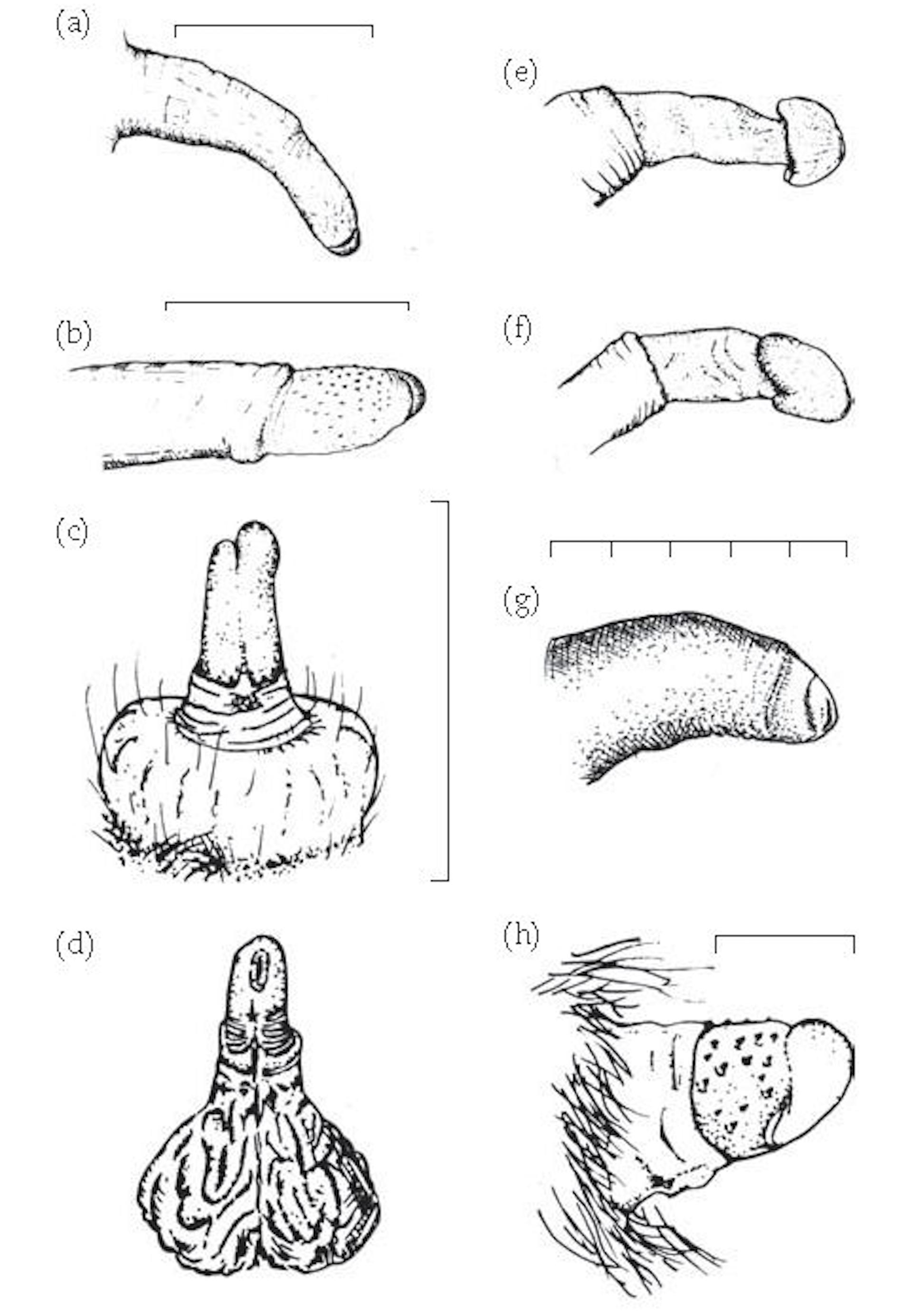 Penis Of Gorilla