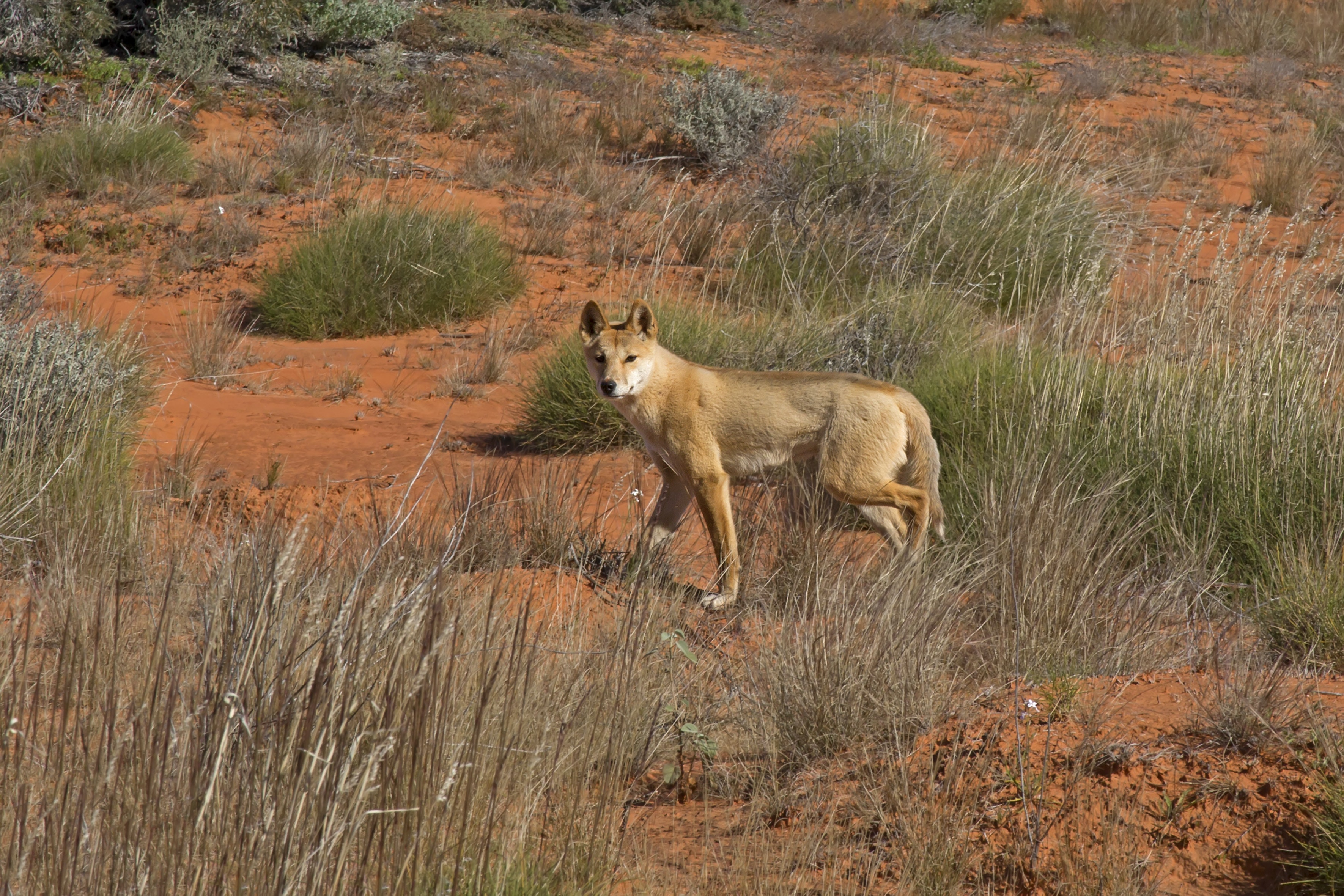 a wolf in dogs u0027 clothing why dingoes may not be australian