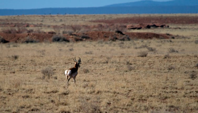 A lone deer walking through brown scrubland is seen from behind. In the distance is the silhouette of a higher landscape and then a blue-grey sky along the top of the photograph.