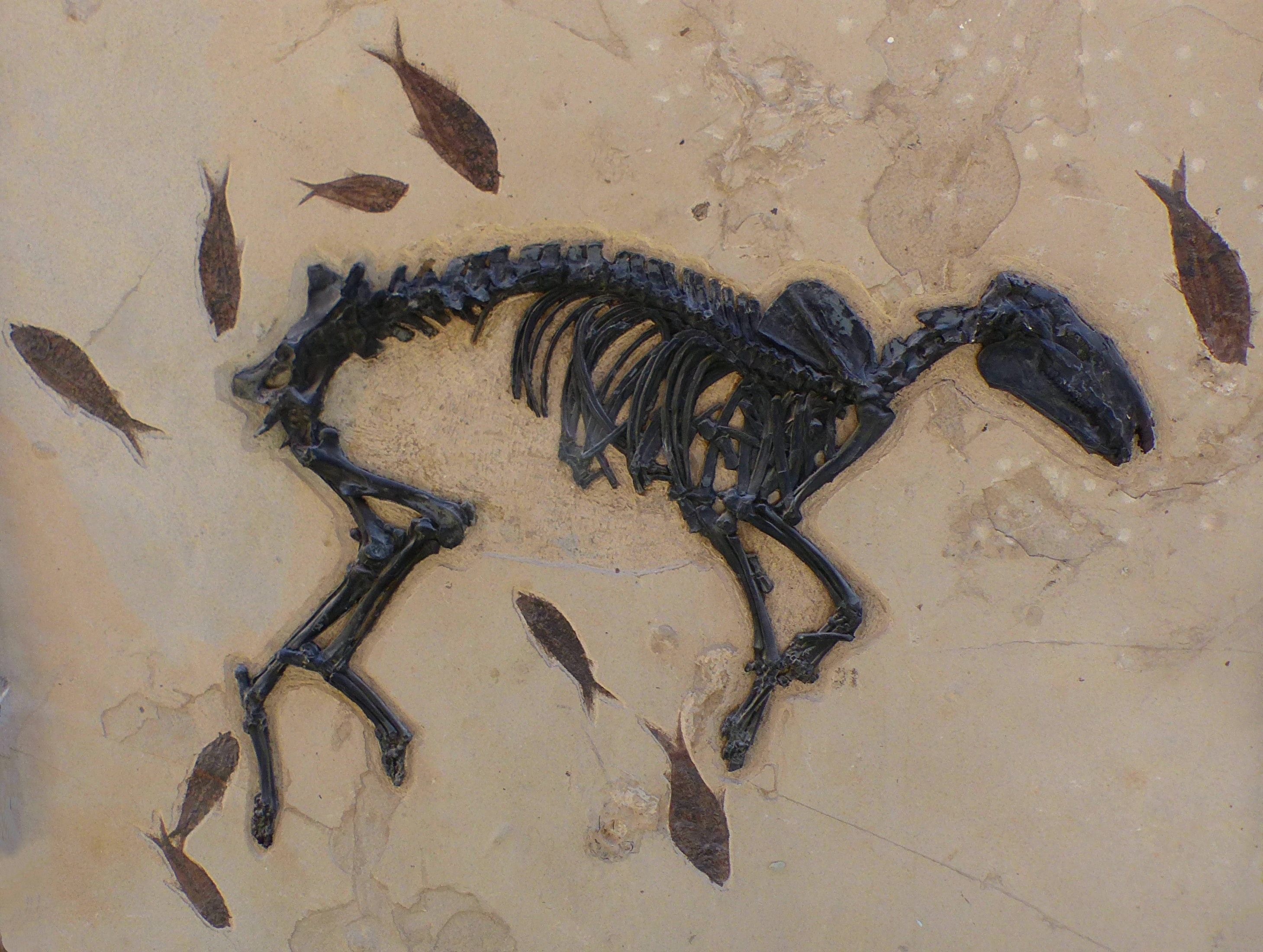 How the horse can help us answer one of evolution's biggest questions