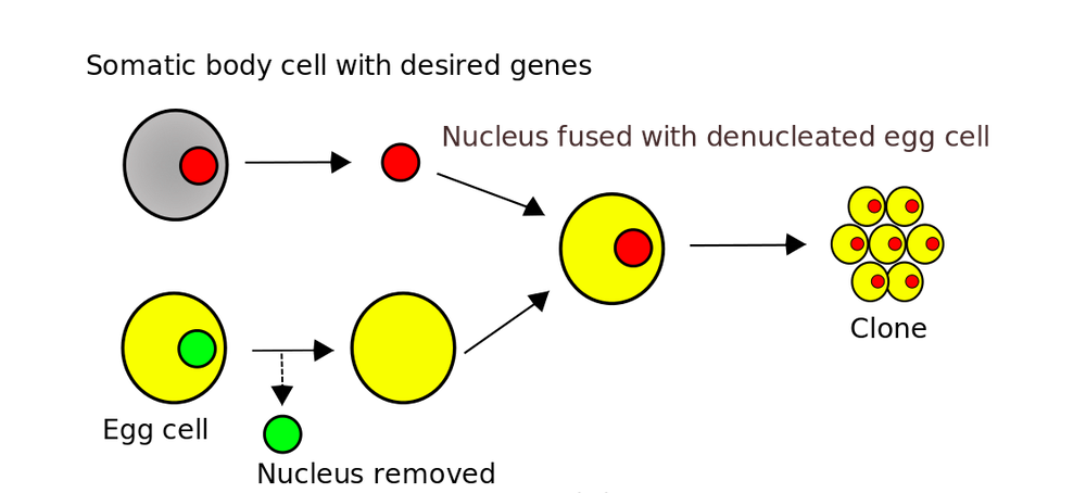 somatic cell nuclear transfer definition