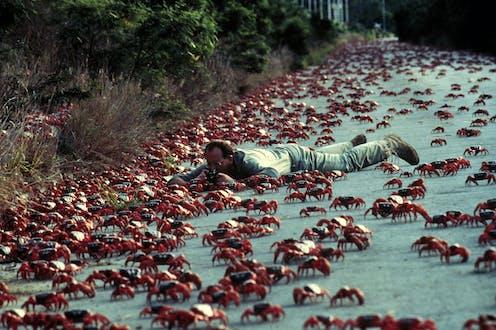Christmas Island red crab