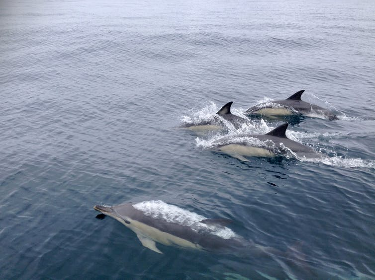 Synchronised swimming makes dolphins more optimistic-4