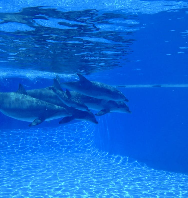 Synchronised swimming makes dolphins more optimistic-5