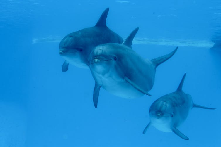 Synchronised swimming makes dolphins more optimistic-1