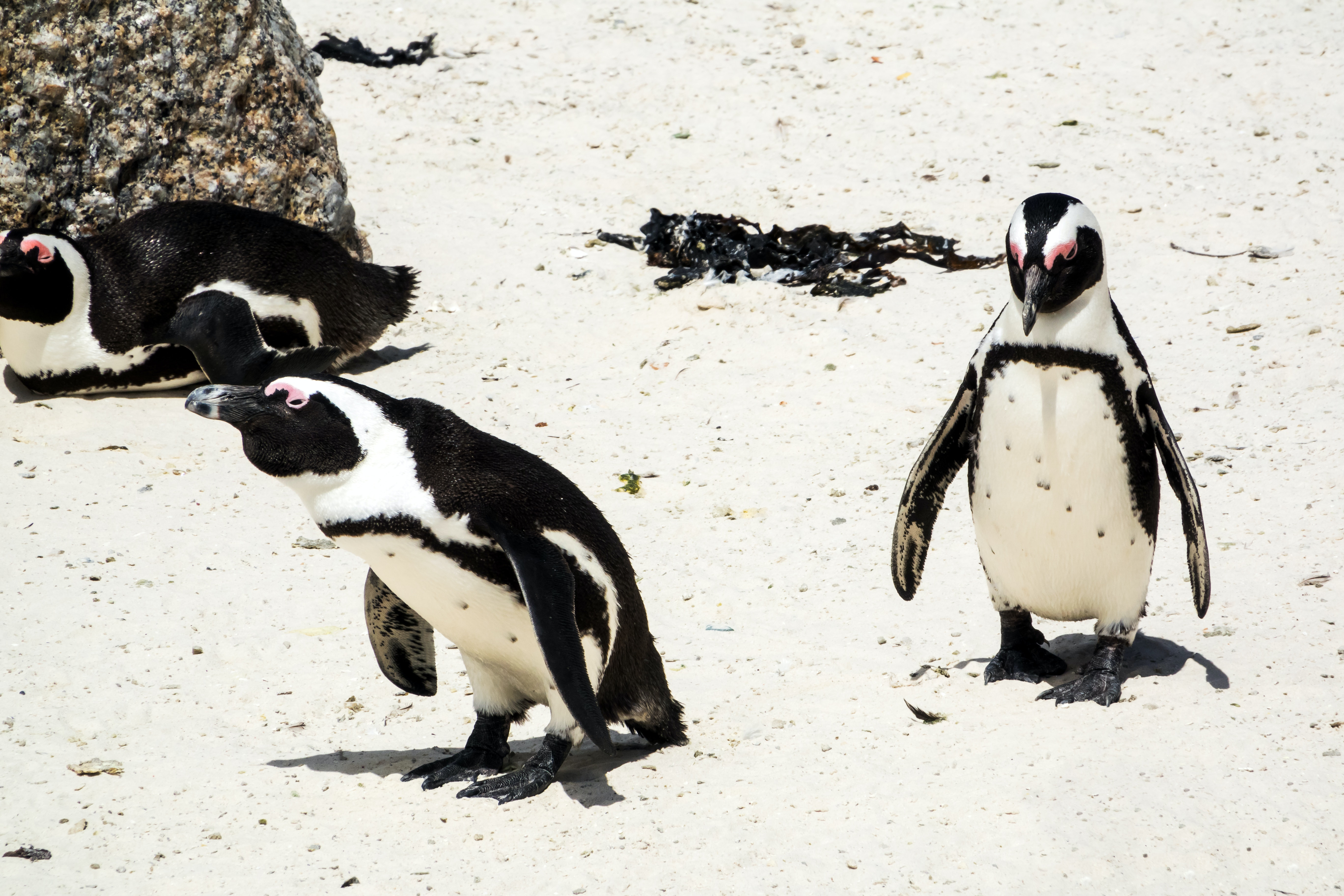 Young African penguins are dying because they can't find the fish they need